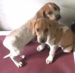 Puppies - Coonhound